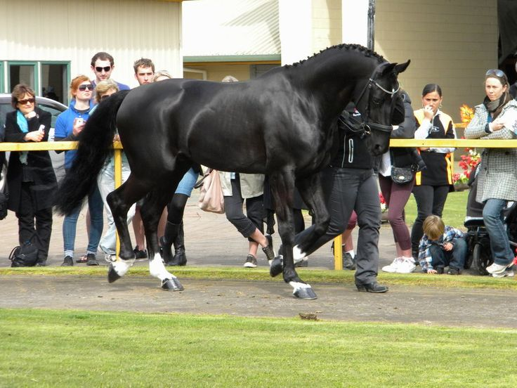 eventing stallion