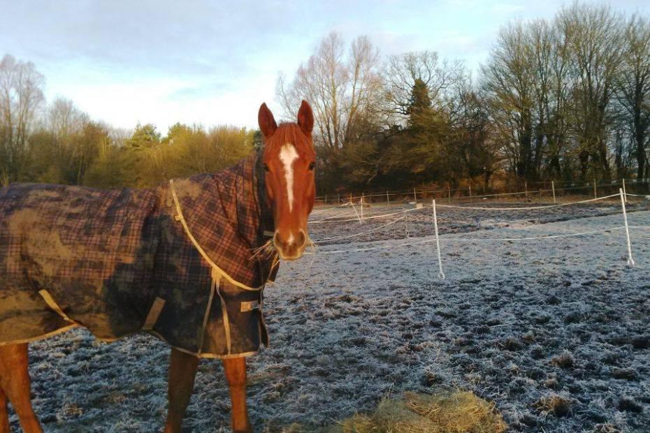 scottie eating hay in the field