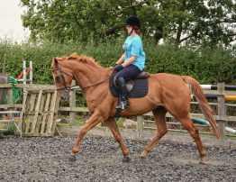 schooling scottie in merino wool saddle pad