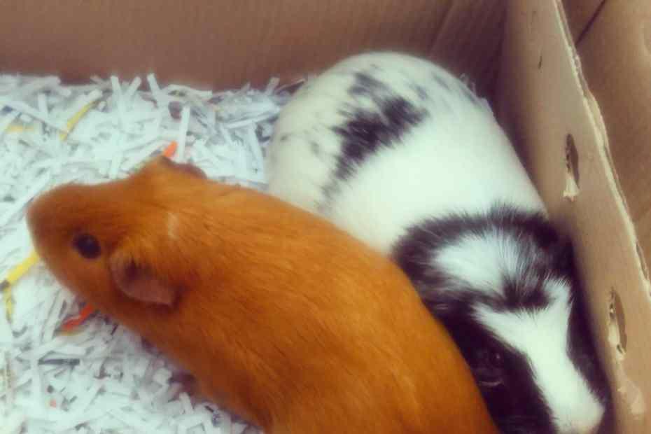 the guinea pigs