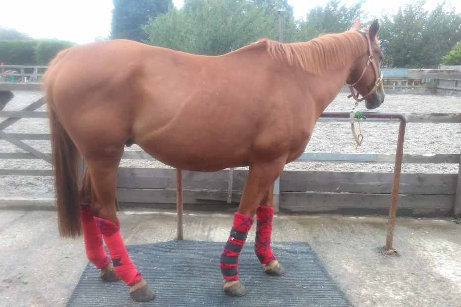 scottie wearing stable wraps during his box rest.