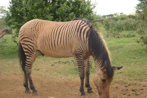 horse hybrids Zorse