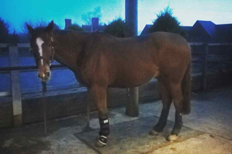 Scottie in all his therapy boots helping with his lameness.. No show after all.