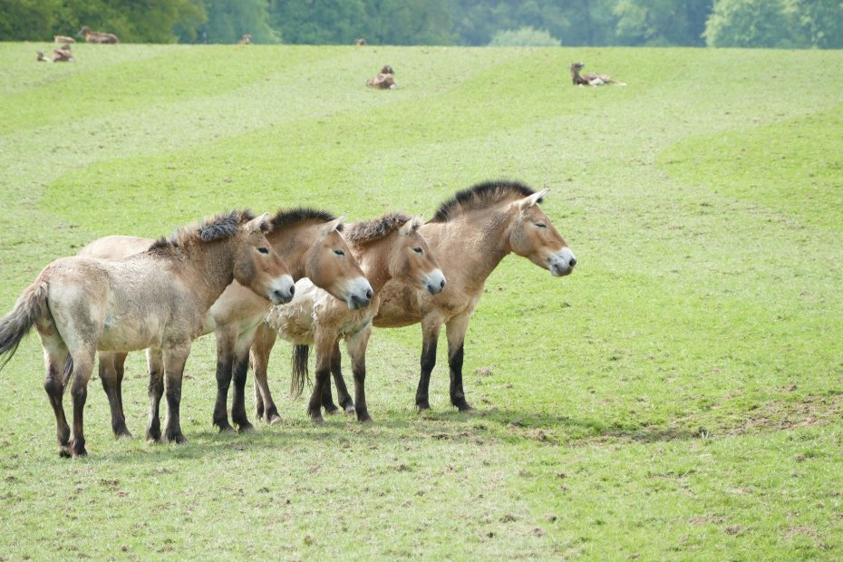 Przewalski horses could be saved by cloning