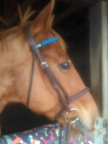 Scottie wearing his handwoven browband, good bridle fit