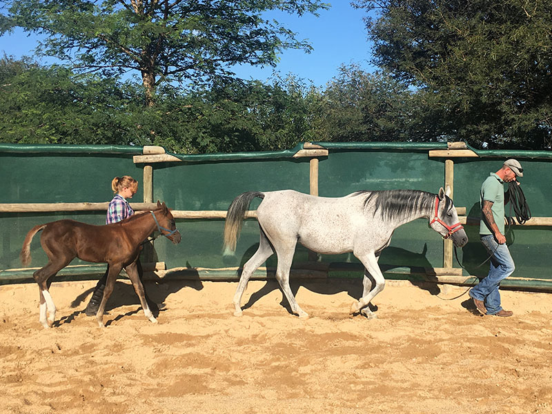 Monty Roberts Instructor Simon d'Unienville working on leading with Arabian mare and foal