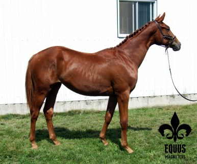Walkyrie E. M. at her GOV registration inspection as a yearling in 2012.