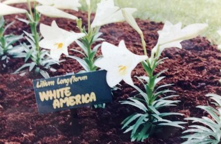 オランダで育成された「ホワイトアメリカ」