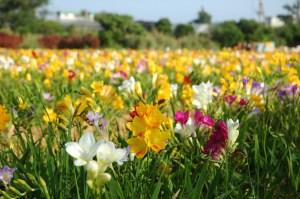 フリージア花畑