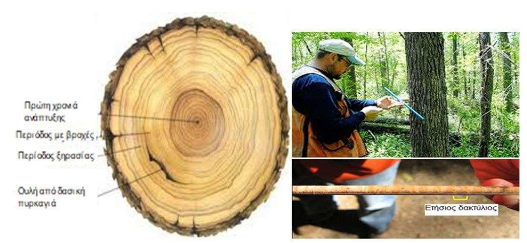 Εικόνα 3 αριστερά: Κάθε ομόκεντρος κύκλος ενός δέντρου μαρτυρά την ηλικία του αντιστοιχόντας σε ένα έτος και ονομάζεται δακτύλιος. Εικόνα 4 δεξιά: Προσαυξητική τρυπάνη (εργαλείο ώστε να παίρνουμε δείγματα δακτυλίων χωρίς να κόβεται ο κορμός).