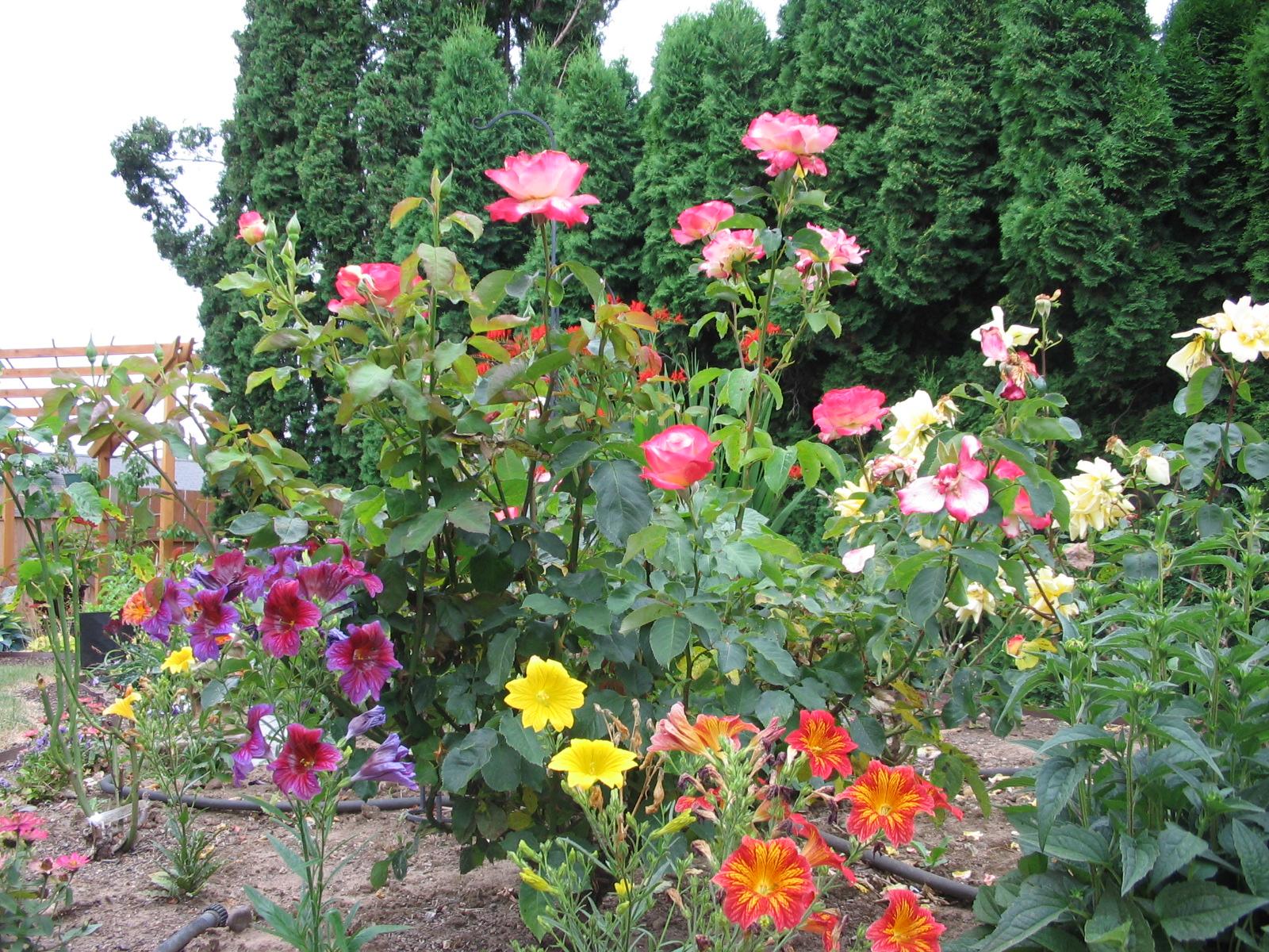 roses-salpiglossis