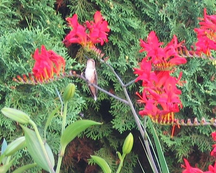 Hummingbird in Crocosmia