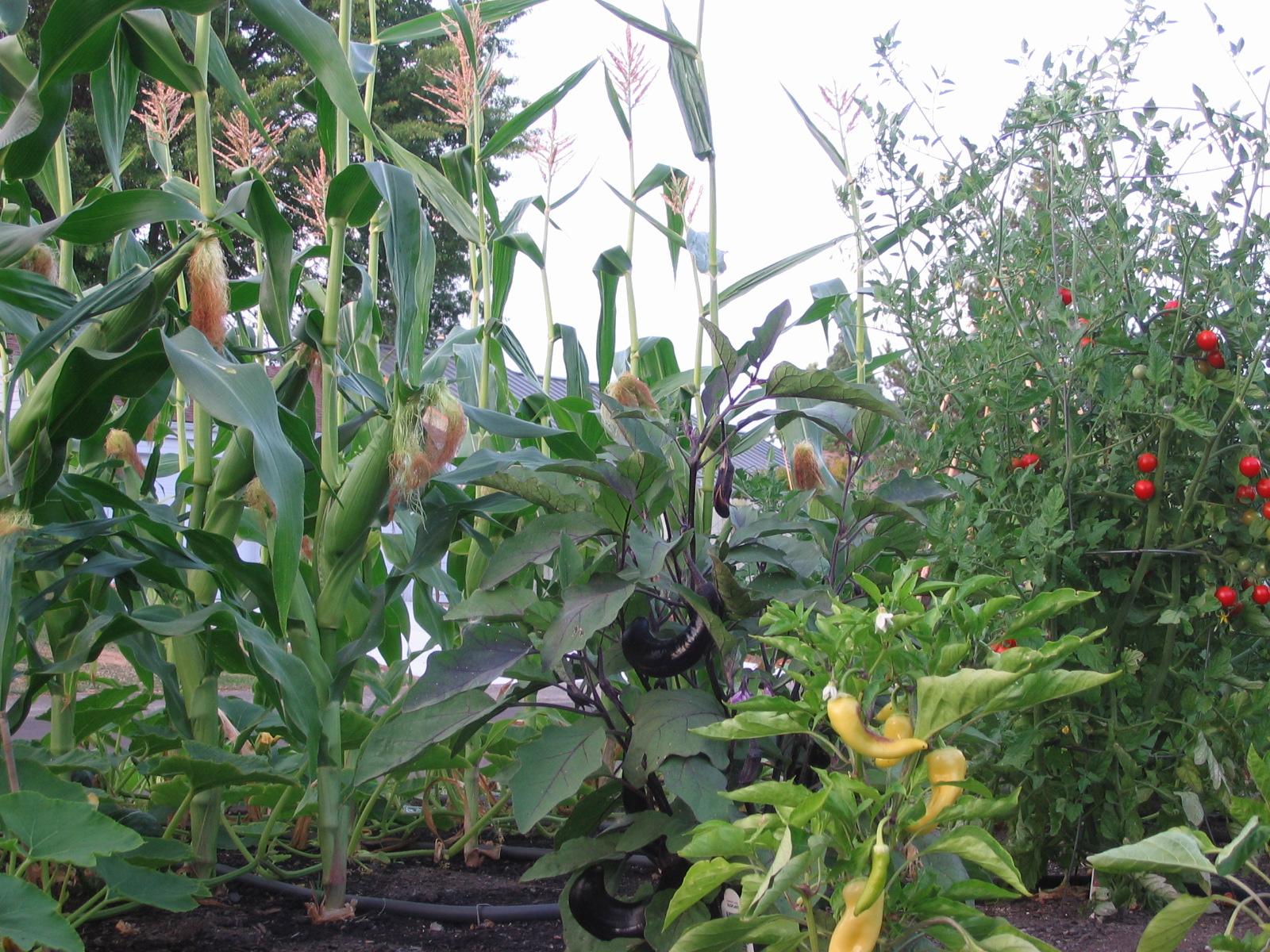 Colorful bounty: corn, eggplant, banana sweet pepper, cherry tomato