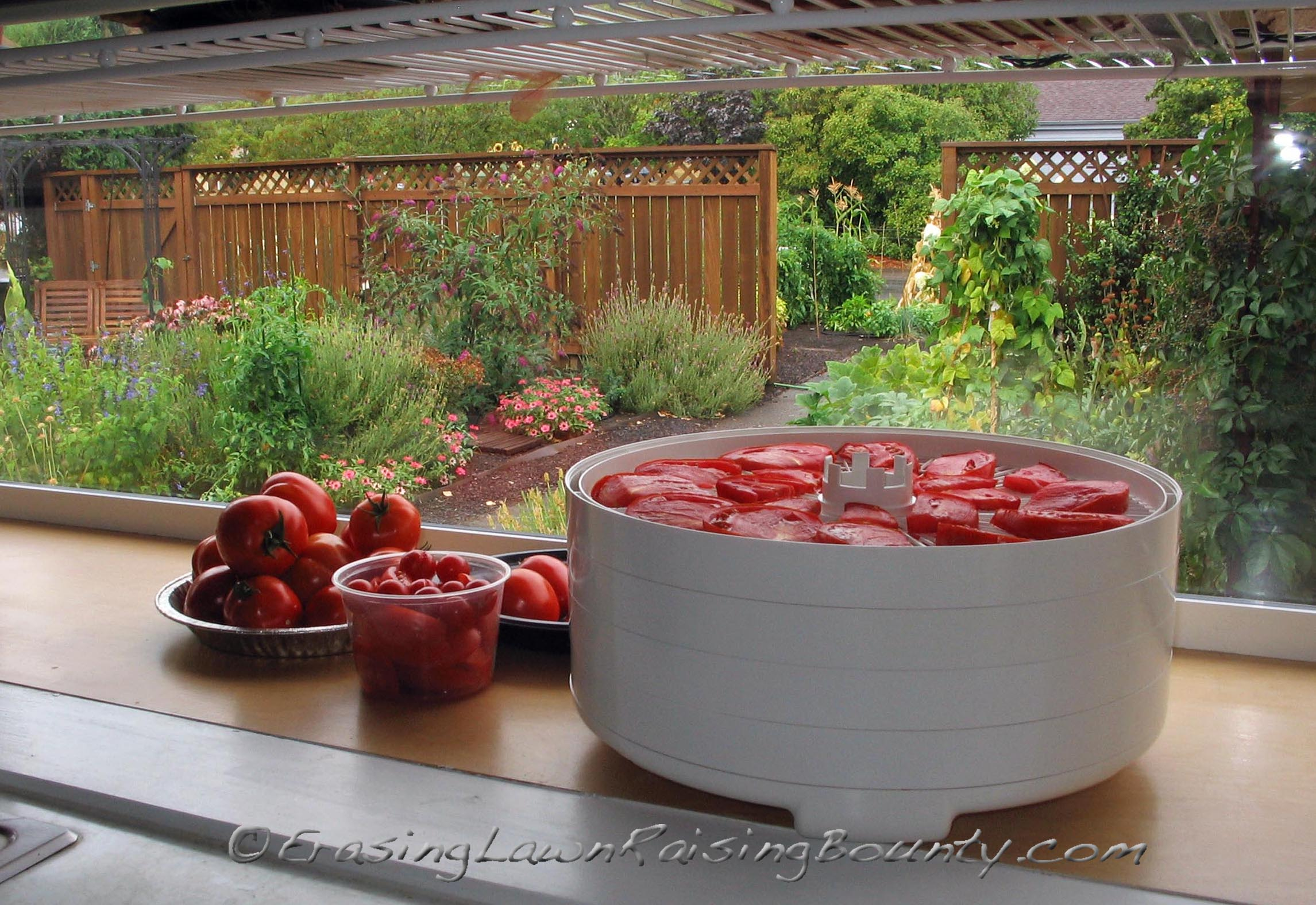 A rainy day task - drying tomatoes for winter