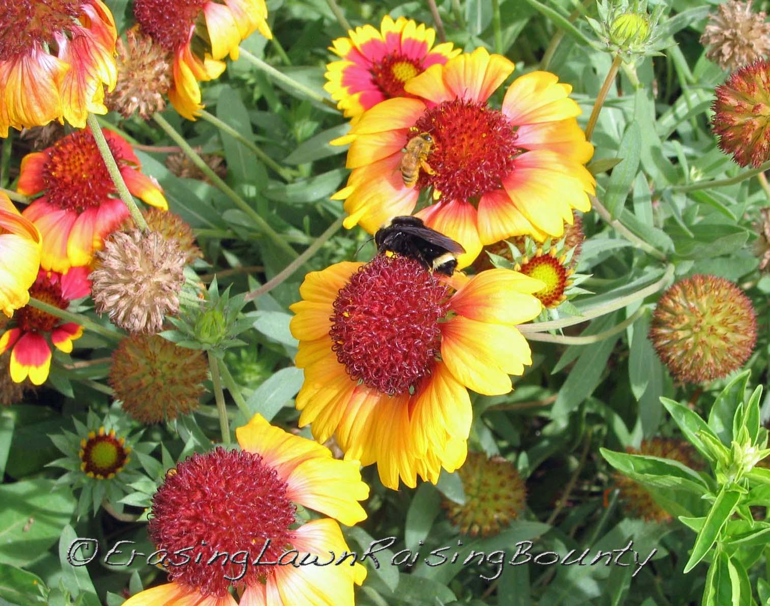 Bumblebee and honey bee on gaillaria flowers