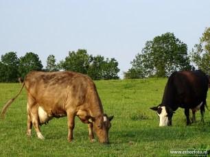 Koeien Fransum (01)