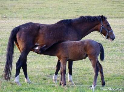 Paard en Veulen (Noordhorn)