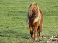 Shetland Pony (02)