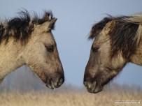 201902_koniks wilde paarden lauwersmeer 04