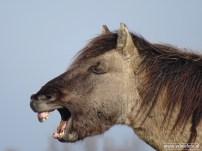 201902_koniks wilde paarden lauwersmeer 07
