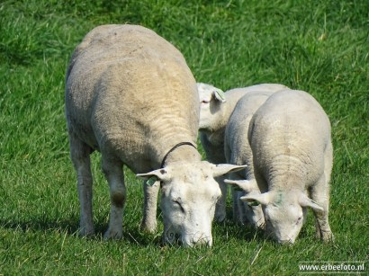 schapen met lammeren_01