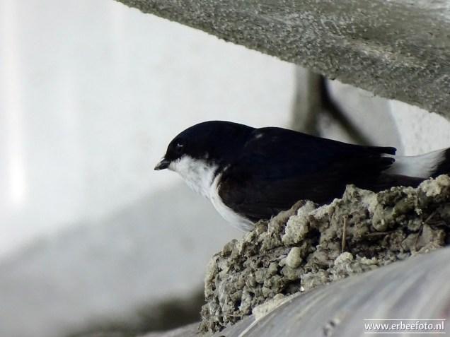 erbeefoto_Huiszwaluwen onder brug (Garnwerd) 05