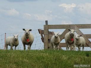 schapen 02 (kommerzijl)