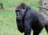 Burgers Zoo - Gorilla 01