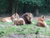 Burgers Zoo - Leeuwen 10