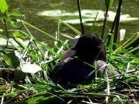 Meerkoet op het nest, Noordhorn, Groningen