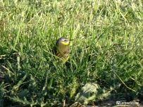 Gele KWikstaart in het gras bij Niehove