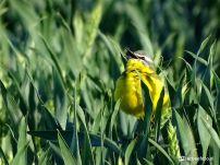 Gele Kwikstaart in het Graan