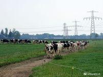 20200603_Koeien op weg naar de Stal (Den Horn) 02