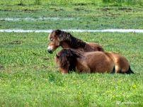Konikpaarden, De Grote Wielen, Leeuwarden