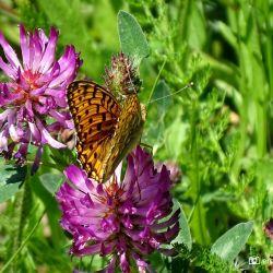 Kiezersmantel Vlinder De Harz Duitsland