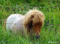 Pony bij Electra