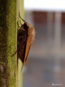 Huismoeder (motvlinder)