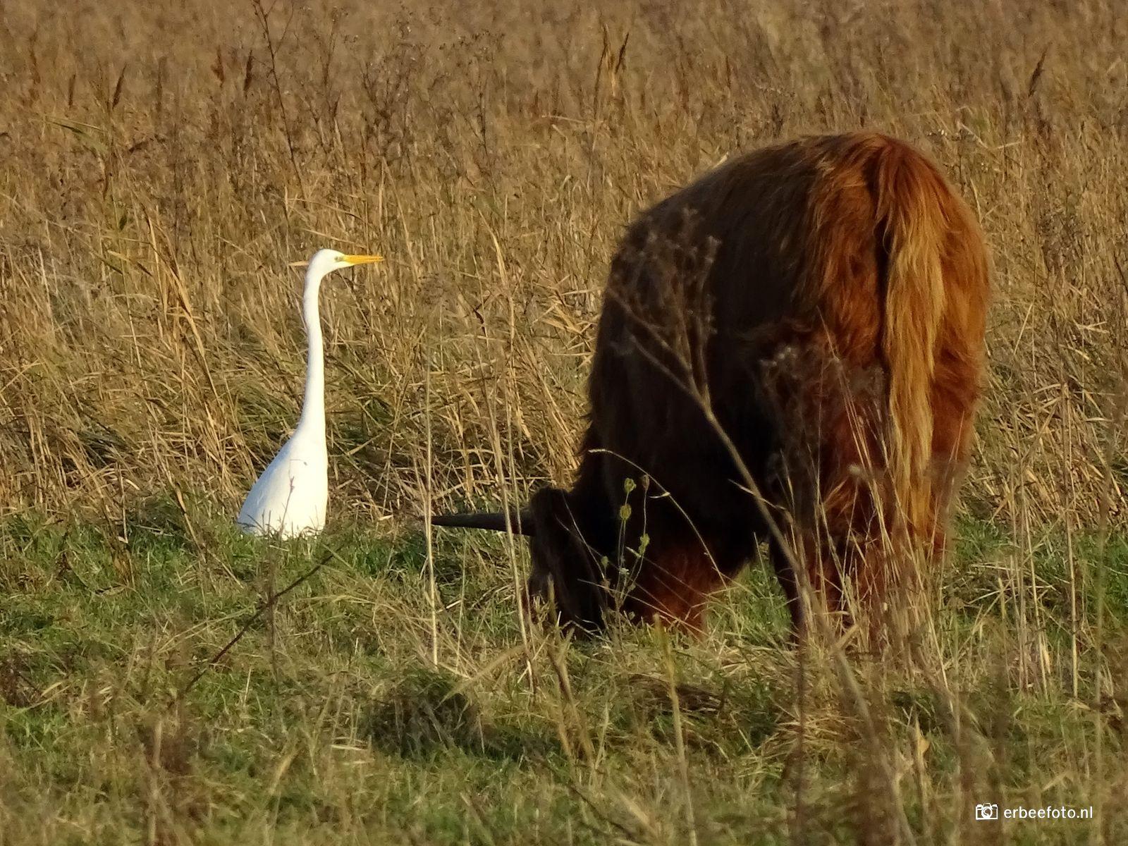 Grote Zilverreiger en Schotse Hooglander Vogelkijkhut de Baak Lauwersmeer