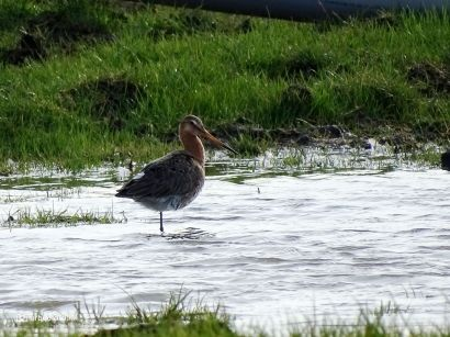 Grutto - Black-tailed Godwit