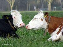 Koeien (Alinghuizen)