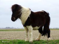 Pony (Electra)
