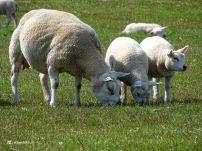 Schapen en Lammetjes (Hekkum)