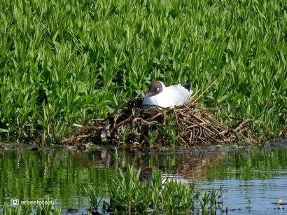 Kopmeeuw (Onlanden) op nest