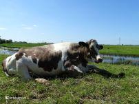 Koeien (Hekkum) 03