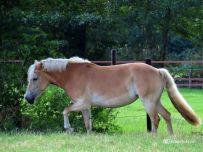 Rennende Paarden (Haflinger)