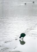 Vízimadár a fagyos víz szélén.