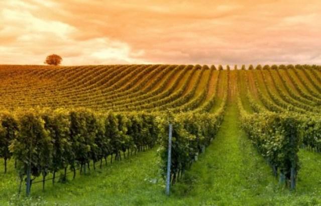 В виноградники Молдовы инвестируют 400 тысяч долларов