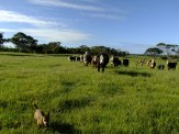 Bringing in the cows