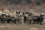 Δίωξη αγριόχοιρων στην περιοχή ευθύνης του Δασαρχείου Κασσάνδρας