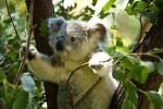 koala-EUCALYPTUS.jpg